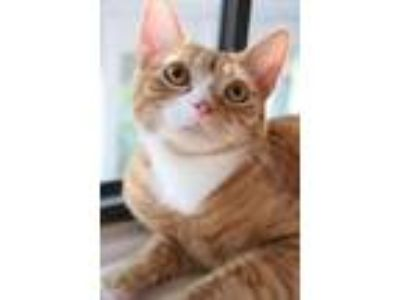 Adopt Phoebe a Domestic Short Hair