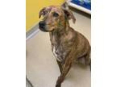 Adopt Brooklyn a Brindle Plott Hound / Mixed dog in Rochester, MN (26132515)