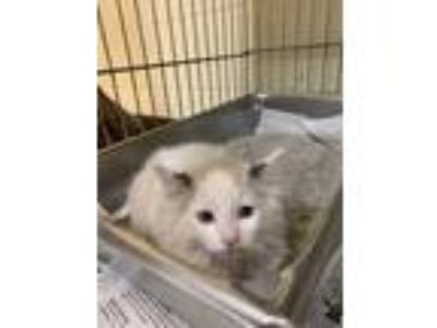 Adopt S'more a Cream or Ivory Domestic Longhair / Mixed cat in Rock Springs