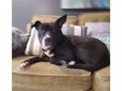 Adopt Savannah a Pit Bull Terrier