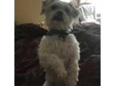 Adopt Leo a White - with Tan, Yellow or Fawn Shih Tzu / Poodle (Standard) dog in