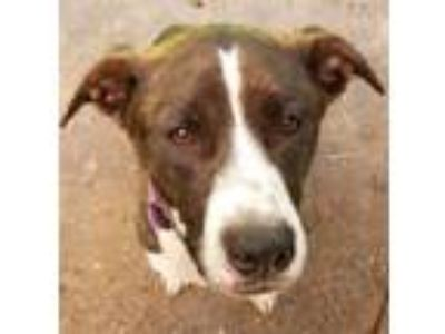 Adopt Ireland - sweet local gal! a Catahoula Leopard Dog