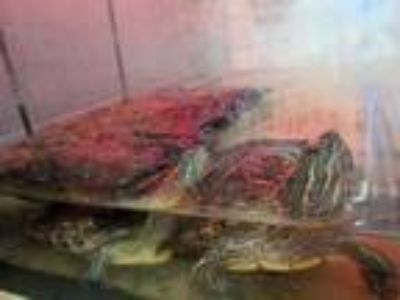 Adopt AJ a Turtle - Other / Turtle - Other / Mixed reptile, amphibian