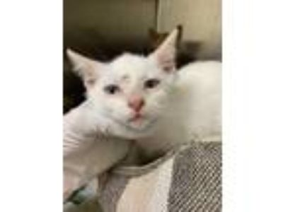 Adopt Mr. Potato Head a White Domestic Shorthair / Domestic Shorthair / Mixed