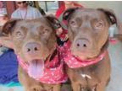 Adopt Cam & Nova a Labrador Retriever, Boxer