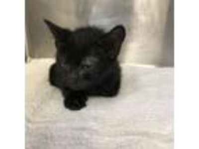 Adopt Blackberry a Domestic Short Hair