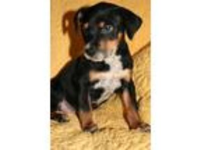 Adopt Rascal LB a Tricolor (Tan/Brown & Black & White) Spaniel (Unknown Type) /