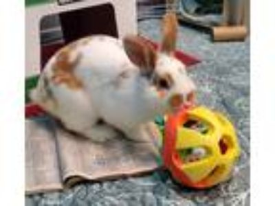 Adopt Butterbur a Lop, Holland / Mixed rabbit in Mipiltas, CA (25310779)