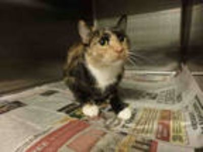 Adopt LUNA a Calico or Dilute Calico Domestic Shorthair / Mixed (short coat) cat