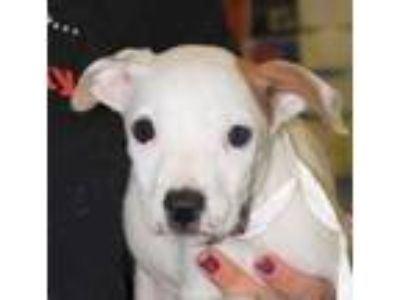 Adopt Maryanne a White American Pit Bull Terrier / Mixed dog in Spartanburg