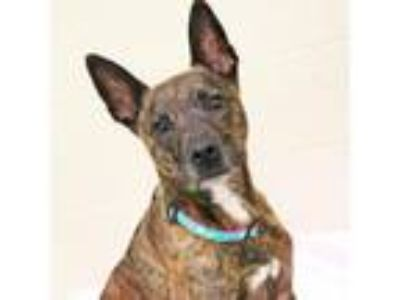 Adopt Rose a Brindle Shepherd (Unknown Type) / Mixed dog in Atlanta