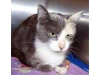 Adopt Yaya a Gray or Blue Domestic Shorthair / Domestic Shorthair / Mixed (short