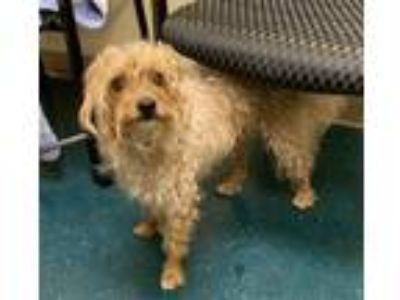 Adopt Talledega a Terrier (Unknown Type, Medium) / Poodle (Standard) / Mixed dog