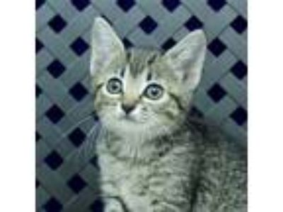 Adopt Aly a Domestic Shorthair / Mixed cat in Midland, TX (25292218)