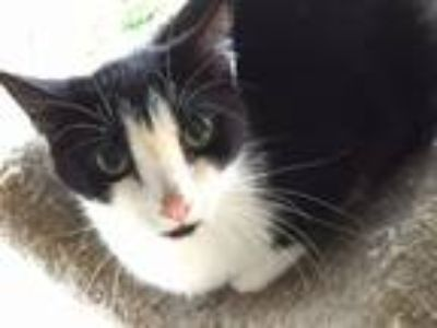 Adopt Louise a Domestic Short Hair