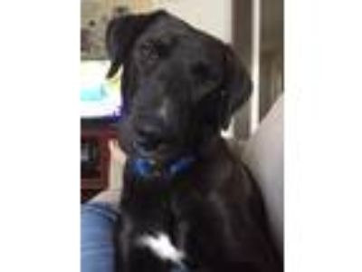 Adopt Colton a Black Labrador Retriever / Mixed dog in New Oxford, PA (25270305)