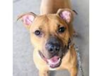 Adopt Paprika a Pit Bull Terrier, Mixed Breed