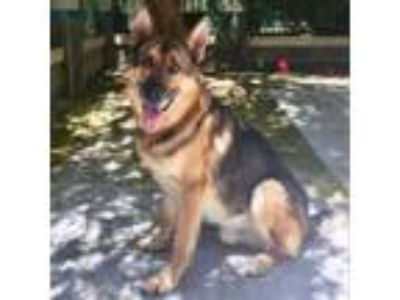Adopt Simon - ECAS a German Shepherd Dog
