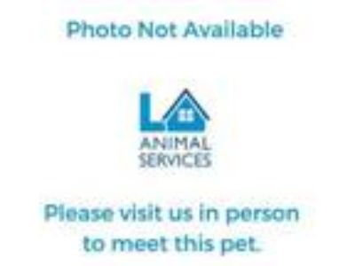 Adopt SNICKER a American Shorthair