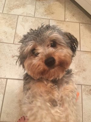 Yorkie-Poo PUPPY FOR SALE ADN-77082 - 10 month old male registered CKC yorkipoo for sale