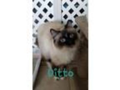 Adopt Ditto 19CWil a Domestic Short Hair, Siamese