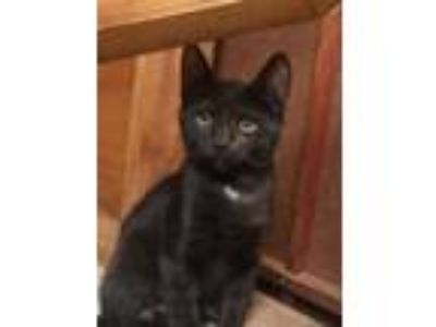 Adopt Baby (kitten. newly named) a Black (Mostly) American Shorthair cat in