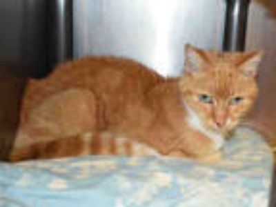 Adopt THUMBELINA a Orange or Red Tabby Domestic Shorthair / Mixed (short coat)