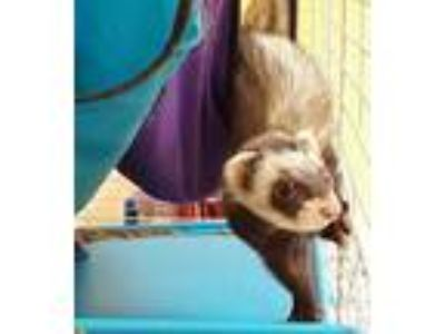 Adopt Juice a Black Ferret / Ferret / Mixed small animal in Newport News