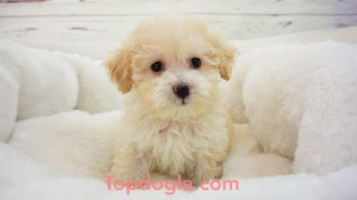 Maltipoo Puppy - Male - FuFu ($1,299)