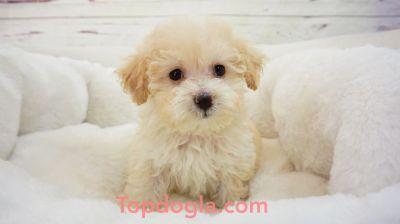 Maltipoo Puppy - Male - FuFu ($1,299)