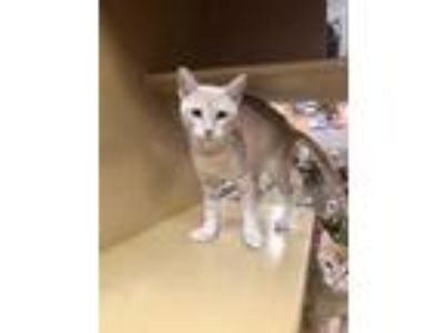 Adopt Ms. Pecan Pie a Orange or Red Abyssinian / Domestic Shorthair / Mixed cat