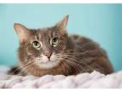 Adopt SHILOH a Gray, Blue or Silver Tabby Domestic Shorthair / Mixed (short