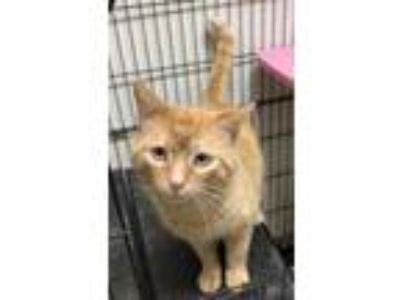 Adopt Nando a Tabby, Domestic Short Hair