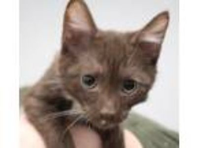 Adopt Stogie a Domestic Short Hair