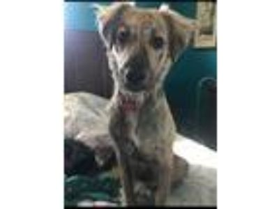 Adopt Tori a Hound (Unknown Type) / Collie / Mixed dog in Poughkeepsie