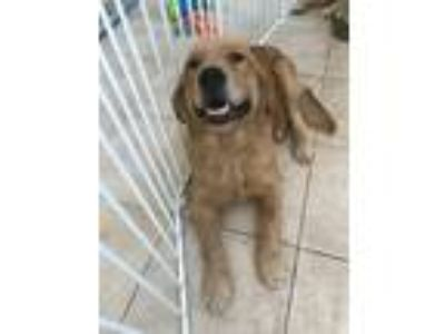 Adopt Jack a Red/Golden/Orange/Chestnut Golden Retriever / Mixed dog in
