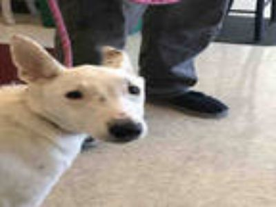 Adopt CHLOE a White - with Black Collie / Mixed dog in Plano, TX (24673685)