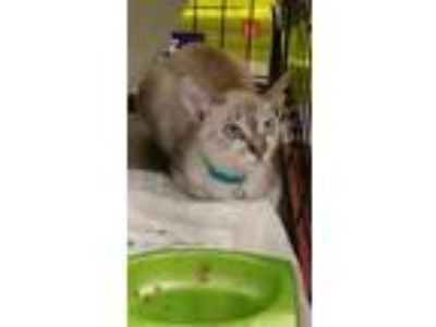 Adopt Wasabi bonded with sister Sushi a Siamese