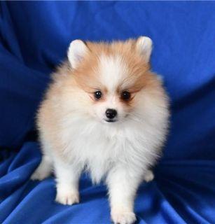BFDF Pomeranian puppies