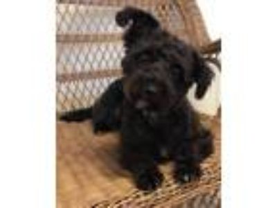 Adopt Ginny a Poodle
