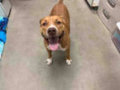 Adopt SIMBA a Tan/Yellow/Fawn - with White American Pit Bull Terrier / Mixed dog