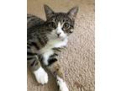 Adopt Klondike a Brown Tabby Domestic Shorthair (short coat) cat in Frankfort