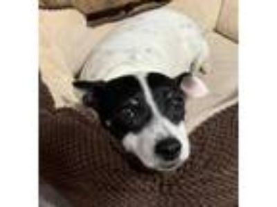 Adopt Pepper a Black - with White Rat Terrier / Mixed dog in Melrose