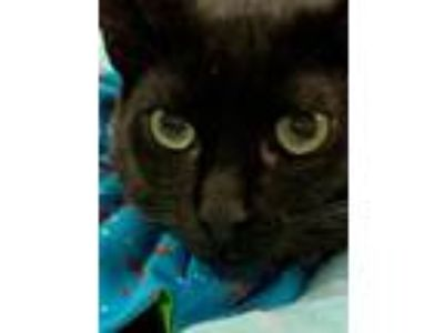 Adopt Spicey a All Black Domestic Shorthair (short coat) cat in Duluth