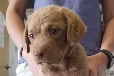 Superterrific Chesapeake Bay Retriever Puppies