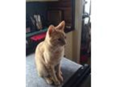 Adopt Buddie a Orange or Red Tabby Domestic Shorthair / Mixed cat in Montara