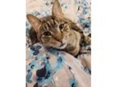 Adopt Scratchy a Spotted Tabby/Leopard Spotted Domestic Shorthair / Mixed cat in