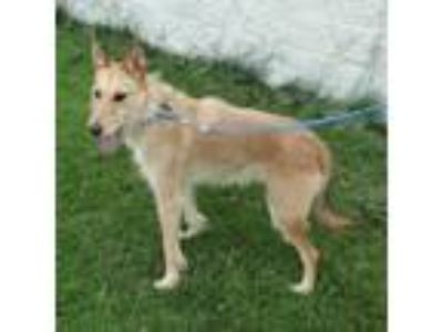 Adopt SCHMEIGAL a Tan/Yellow/Fawn Terrier (Unknown Type, Small) / Mixed dog in