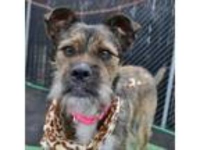 Adopt Sofia a Wirehaired Terrier