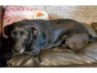 Adopt Lucy a Black Dachshund / Labrador Retriever / Mixed dog in Blacksburg
